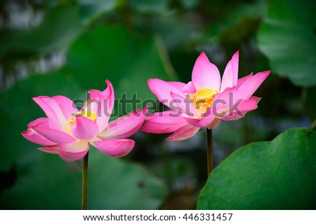 Pink lotus and green leaf on water.