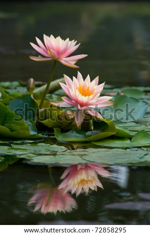 pink lotus flower blooming at summer