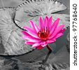 PInk Lotus on the River - stock photo