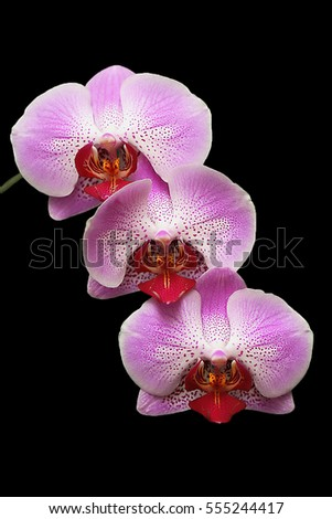 Pink orchid flowers isolated on black background