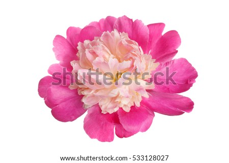 Pink peony flower with the shape anemone flowered isolated on white background.