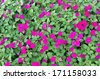 Pink periwinkle flowers in garden for background. - stock