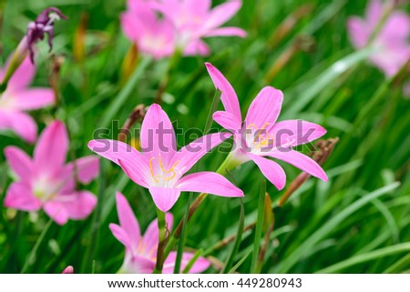 Pink rain lily, Zephyranthes, flower meadow
