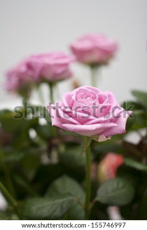 Pink roses with green leaves in vase at home