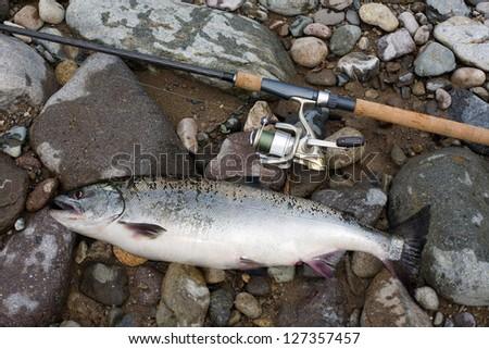 Pink salmon, freshly caught female and spinning.