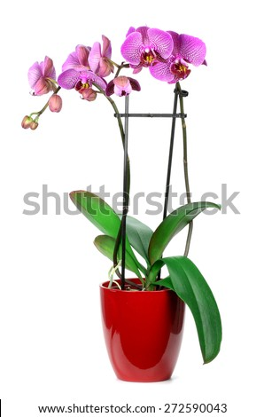 Pink streaked orchid flower,on a white background  isolated