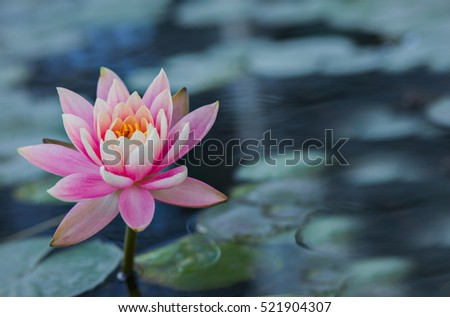 Pink water lily background.