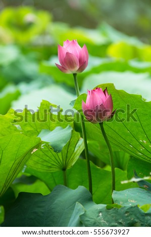 Pink waterlilies among green leaves
