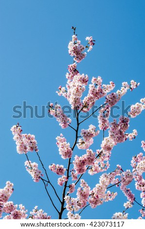Pink Wild Himalayan Cherry with yellow leaves and blue sky