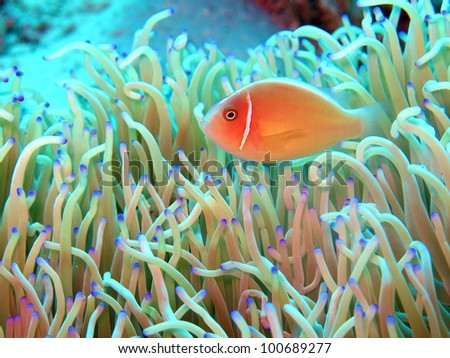 Pinks anemone fish peering out from his home