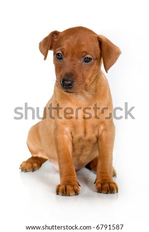 Pinscher puppy on a white background