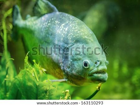... pictures details about piranha fun fish aquarium cave 315 Car Pictures