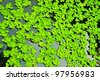 Pistia (Water cabbage) and water - stock photo