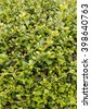Plant wall background, Siamese rough bush tree - stock photo