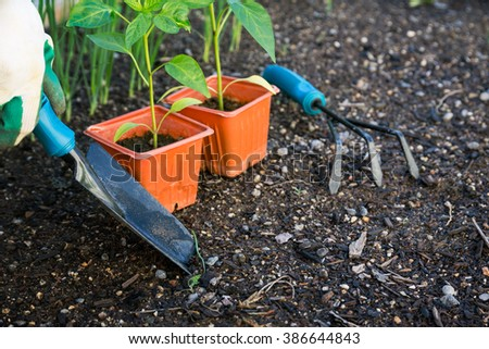 Planting vegetables in the garden