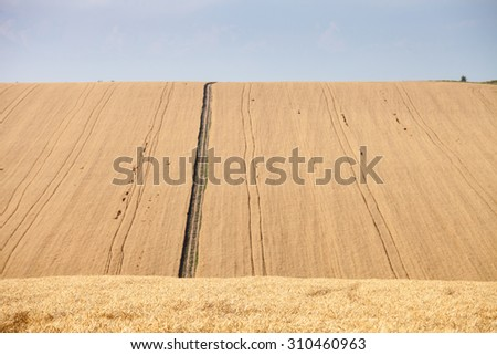 Pleated agricultural land with harvest of golden vheat against the blue sky with white clouds