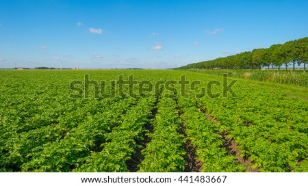 Plowed field with potatoes in summer