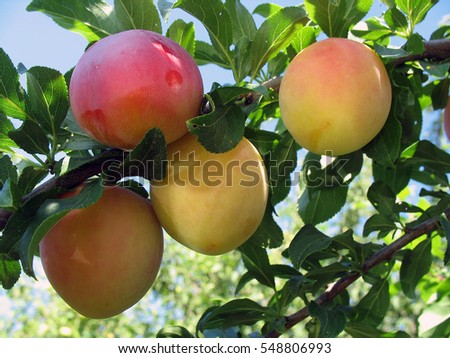 Plum tree with juicy fruits.