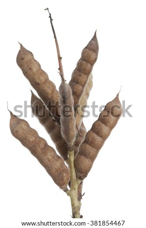 pod of lupin (Lupinus angustifolius) on white background