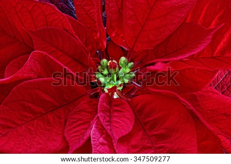 poinsetta/Star 3/Christmas flowers plant