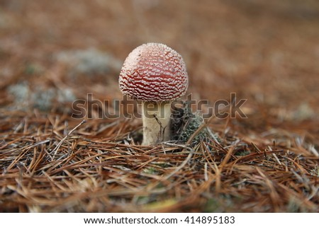 Poisoning red mushroom in the forest. Mushroom in the forest. Flybane in the forest