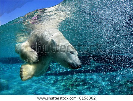 Polar bear diving