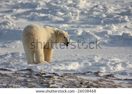 Polar bear in the arctic snow reacting to a sound or smell