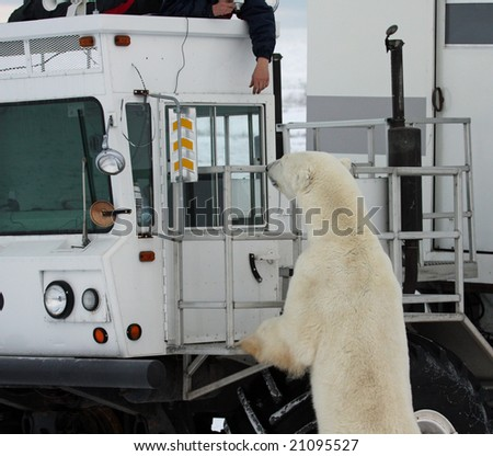 Polar bear looking into a truck with a person's hand hanging down