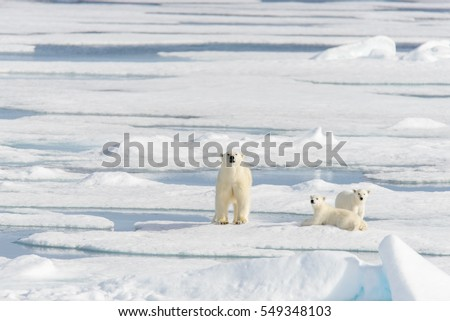 Polar bear mother (Ursus maritimus) and twin cubs on the pack ice north  sc 1 st  Shutterstock & Polar Bear Sitting Near Fishermans Tent Stock Photo 655036627 ...