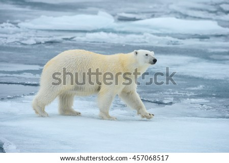 polar bear walking on nice floe in norwegian arctic sea