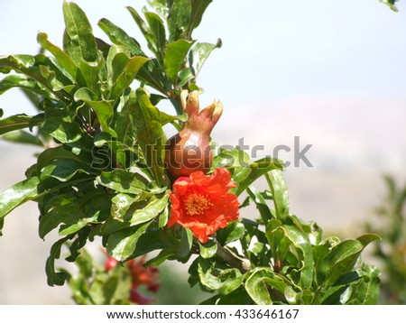 Pomegranate flower and fruit on tree.