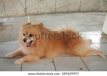 Best Pomeranian Brown Adorable Dog - stock-photo-pomeranian-dog-on-the-floor-adorable-dog-589609997  HD_743148  .jpg