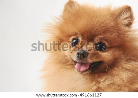 pomeranian dog sitting on wooden surface