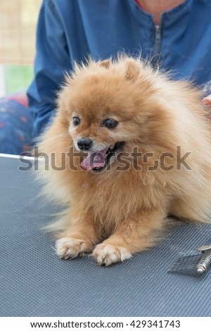 Pomeranian German Spitz dog is combed by groomer. Dog is lying on the grooming table.
