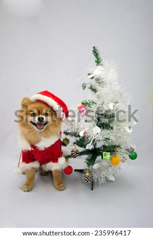 Pomeranian in santa costume and christmas tree