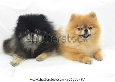 Pomeranian relaxing in studio