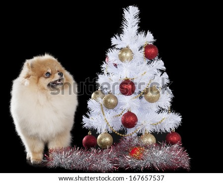 Pomeranian with Christmas tree on black background
