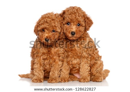 Poodle puppies. Portrait on a white background