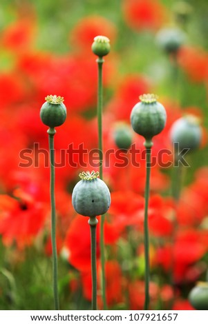 poppy capsules with red poppies on a field