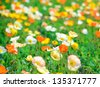 poppy flower field in spring - stock photo