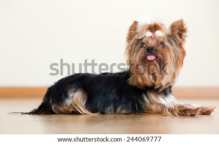 Popular companion dog breed Yorkshire Terrier laying on laminated floor