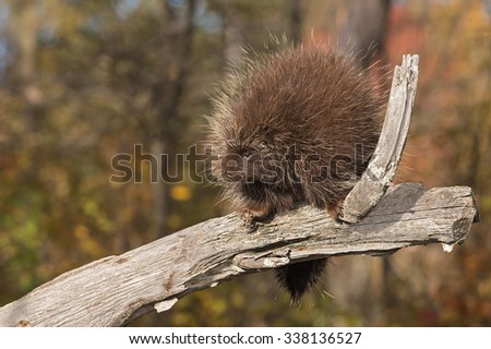 Porcupine (Erethizon dorsatum) Looks Left from Branch - captive animal