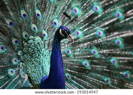 portrait adult male peacock (Pavo cristatus) showing its magnificent tail feather