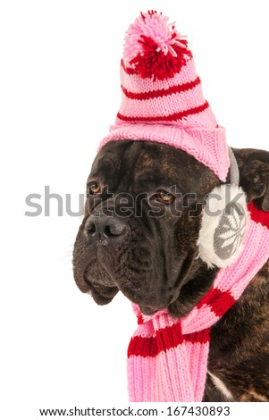 Portrait from dog in winter time with hat, scarf and ear warmers
