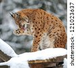 portrait lynx in the forest in winter - stock photo