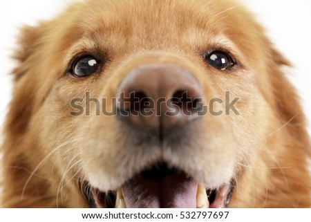 Portrait of a cute Hovawart puppie, studio shot, isolated on white.