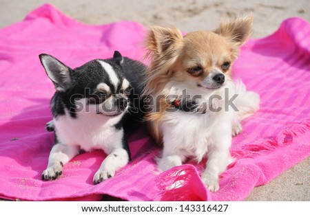 portrait of a cute purebred  chihuahuas on the beach