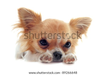 puppy chihuahua tired in front of white background - stock photo