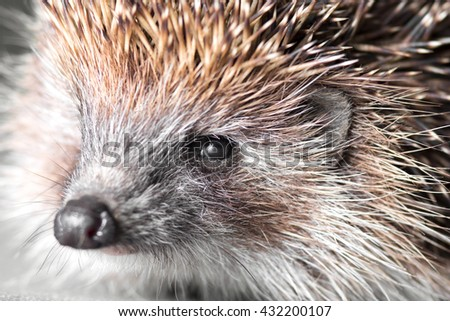 portrait of a cute spiny hedgehog