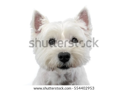 Portrait of a cute west highland white terrier, studio shot, isolated on white.